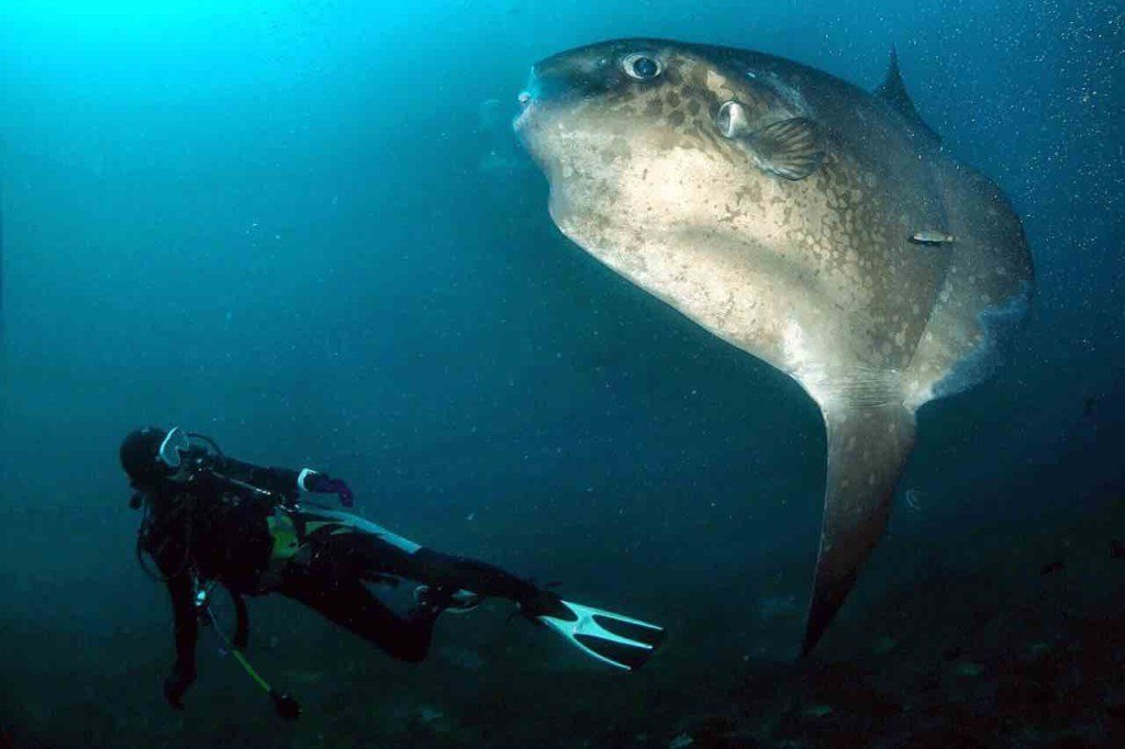 The Mola of Penida – Bali's Strange Looking Sunfish Explained!
