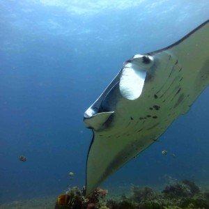 Manta Ray, Nusa Penida with Bali Scuba