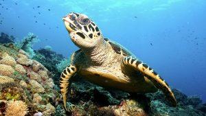 Turtles Padang Bai